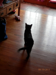 Stripey, stalking a fly in the living room.